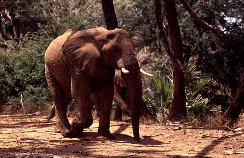 hvilken rovdyr lever in kenya