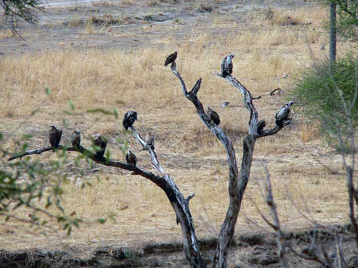 Lappet-faced vulture and Rueppell's griffon