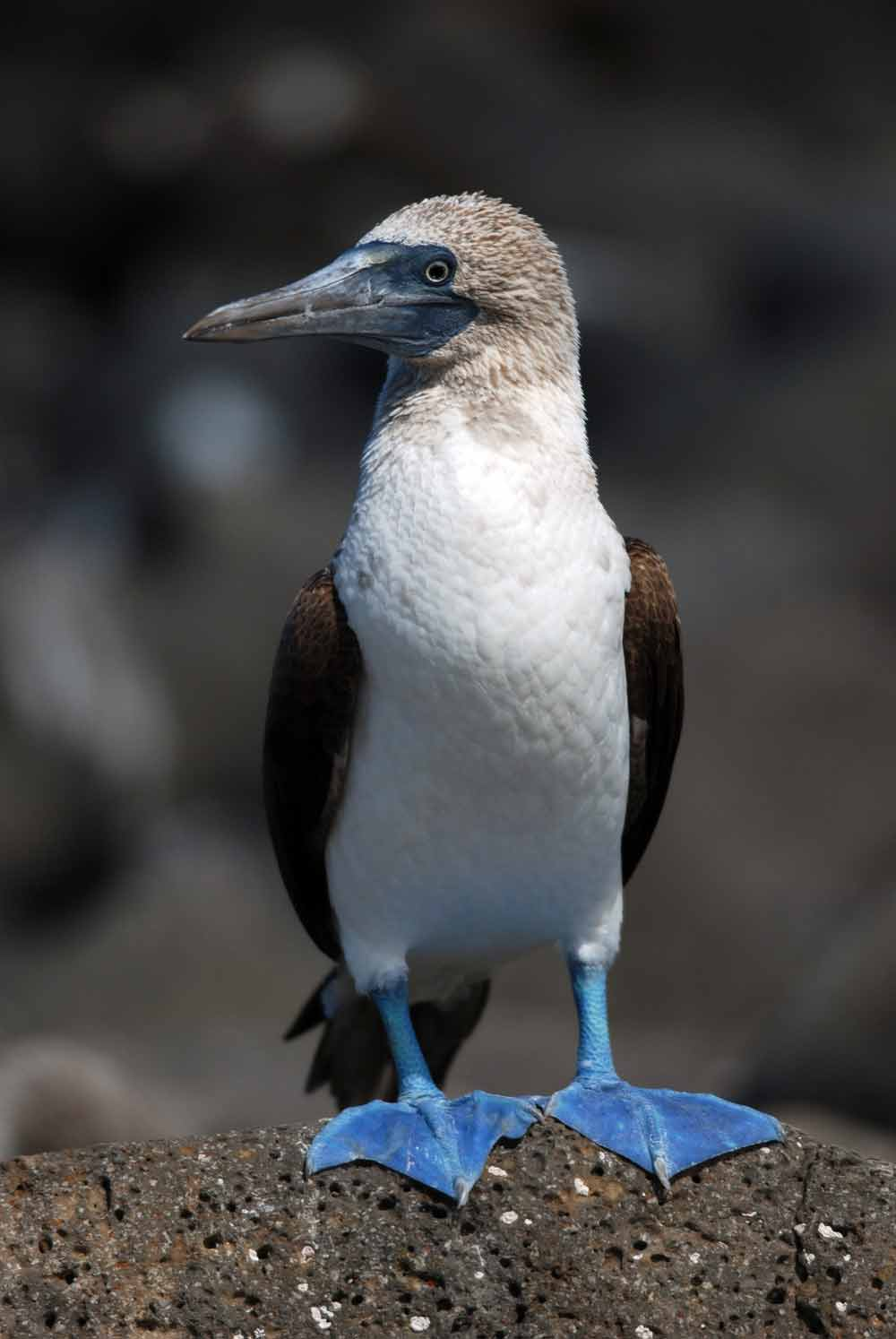 Blue-footed booby Sula nebouxii
