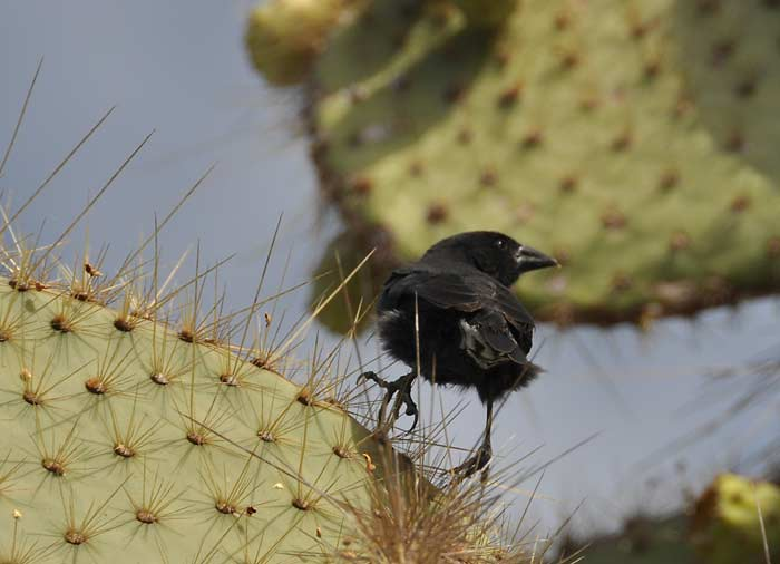Cactus finch Geopiza scandens (Endemic)