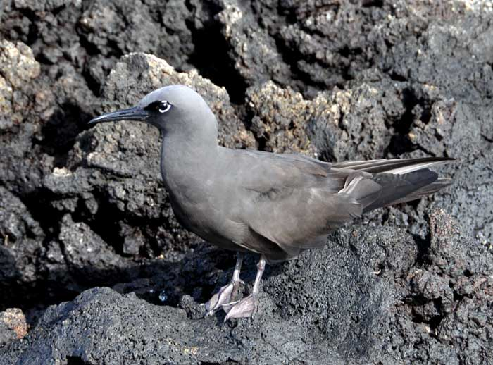 Brown noddy Anous stolidus