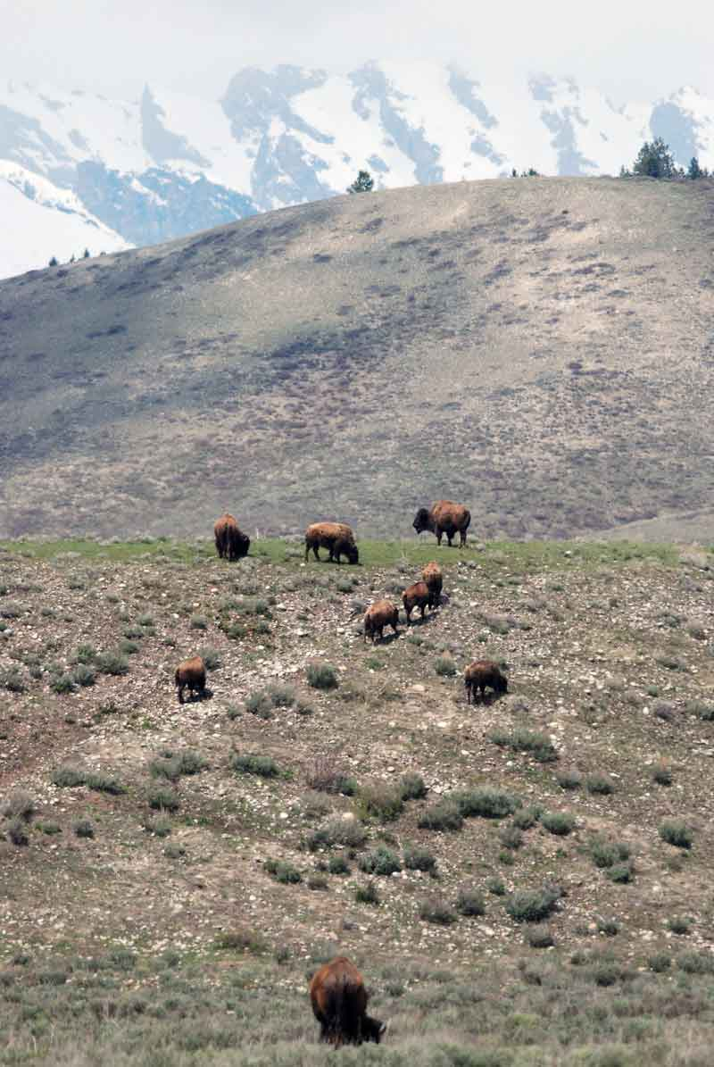 Bison in Grand Teton